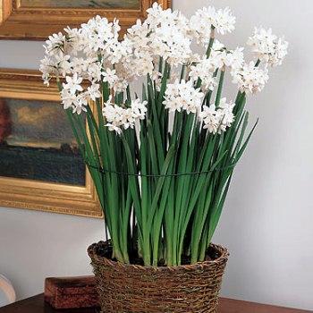 cvatuce-sobno-cvijece