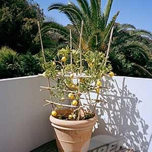 Cvijeće  Voćke na balkonu