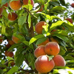 breskva-stablo