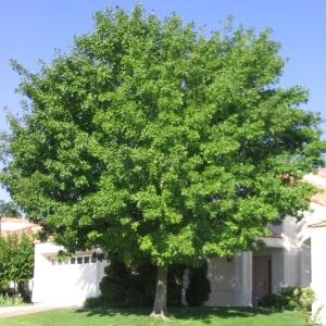 najpopularnija listopadna stabla - jasen