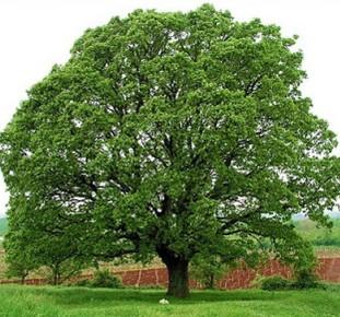 najpoznatija zimzelena stabla - hrast