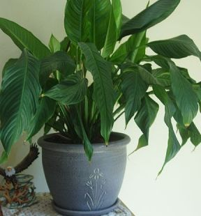 ciscenje biljaka