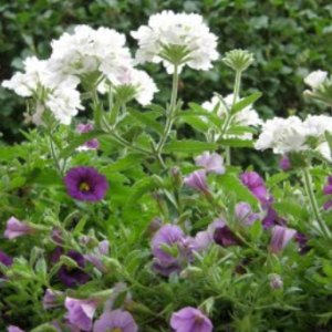 Pravilan kruzni cvijetnjak