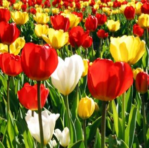 simbolika tulipana