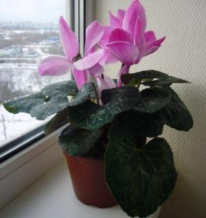 sobna_biljka