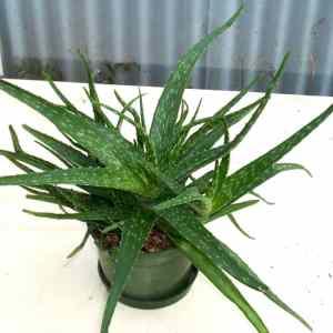 Succulents i Cacti