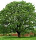najpoznatija-zimzelena-stabla-hrast
