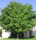 najpopularnija-listopadna-stabla-jasen