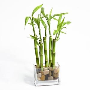 Lucky Bamboo (Sretni bambus)