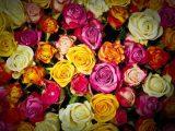 Značenje ruža prema boji